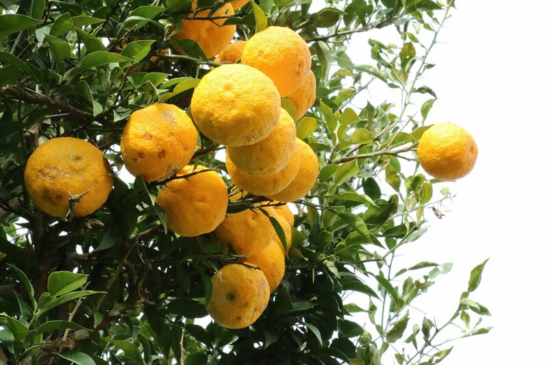 In Ancient Rome Citrus Fruits Were Status Symbols Atlas Obscura