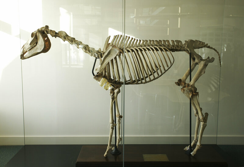 Eclipse's skeleton, at the Royal Veterinary College, in London.