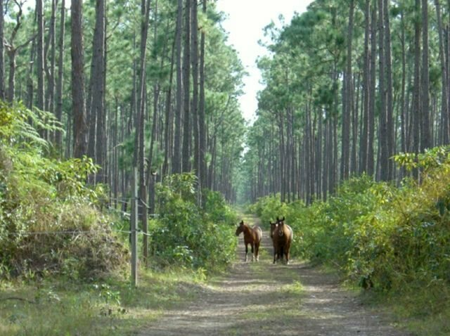 The numbers of horses on Great Abaco Island started dwindling in the 1960s.