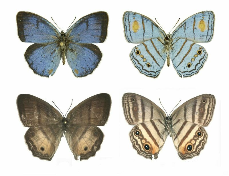 Male (top) and female (bottom) sunburst cerulean-satyr butterflies are finally considered one species.