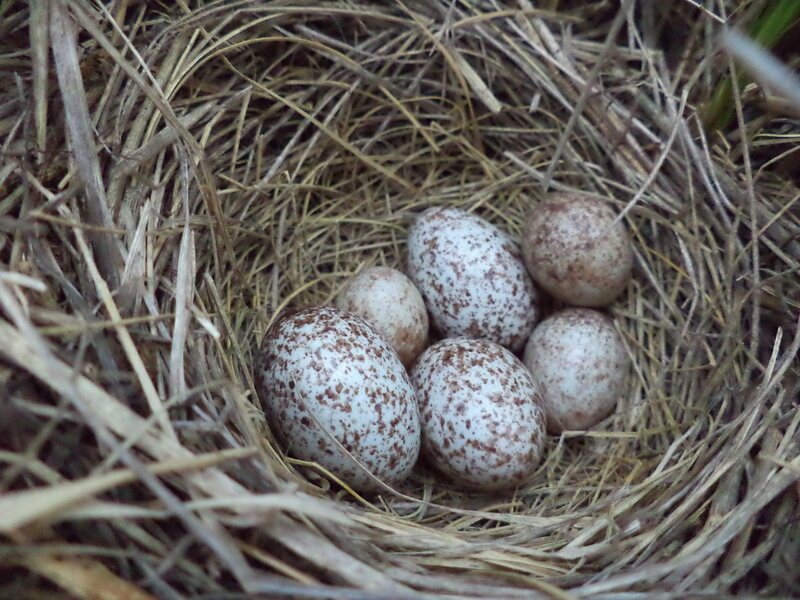 Larger cowbird eggs are easy for humans to spot, but Savannah sparrows don't recognize the eggs as different from their own.