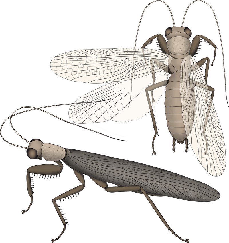 Illustrations of <em>Santanmantis axelrodi</em> based on the newly discovered fossil.
