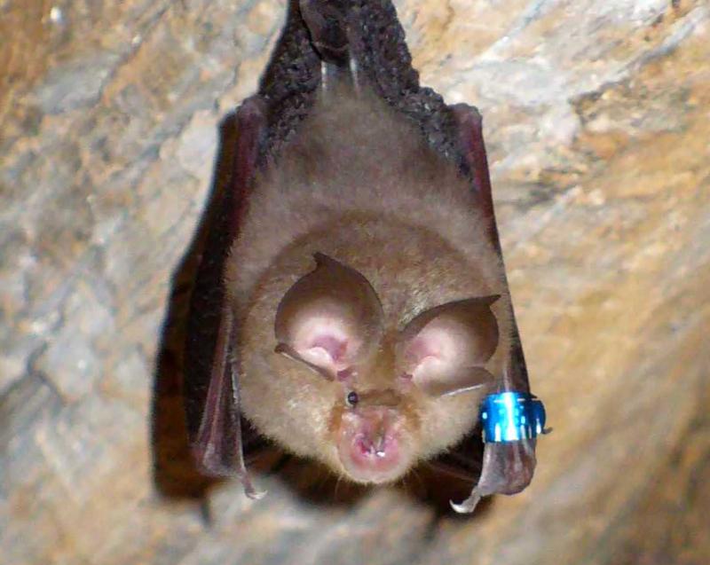 A lesser horseshoe bat (cropped).