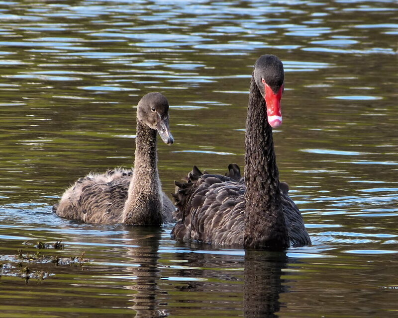 Black swans are native to Australia and New Zealand (the Rosenau Palace swans are not pictured here).