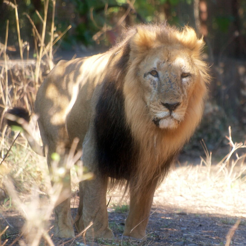 An Asiatic lion in the Gir Forest National Park and Wildlife Sanctuary.