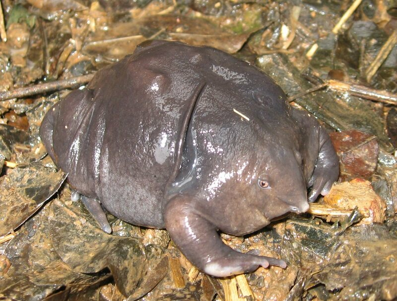 A species of purple frog discovered in 2003 is a close cousin of the Bhupathy's purple frog.
