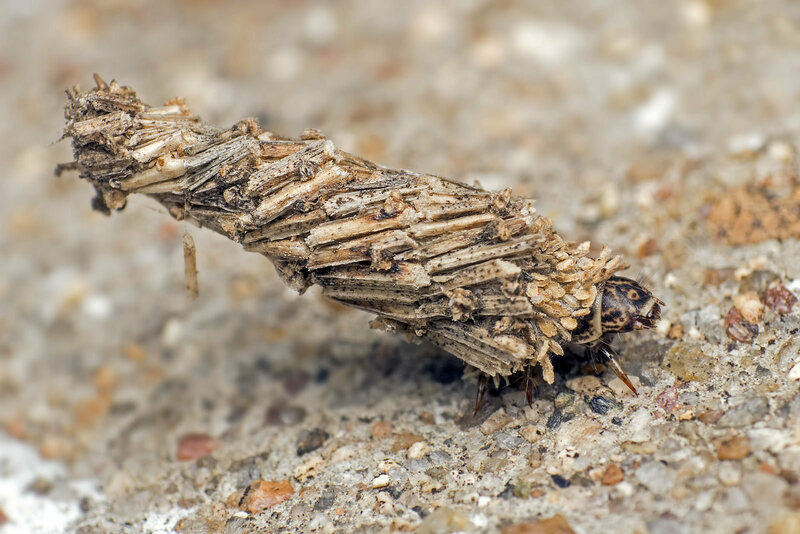 A bagworm caterpillar—what is that, indeed?
