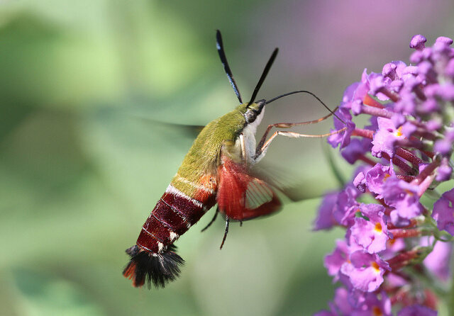 The hummingbird clearwing moth, which disguises itself as—well, look for yourself.