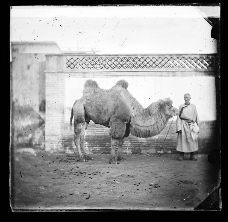 An 1871 photograph by J. Thomson depicts a Mongolian herder with his Bactrian camel.