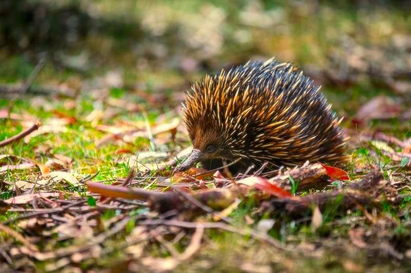 Echidnas are out there, looking for love.