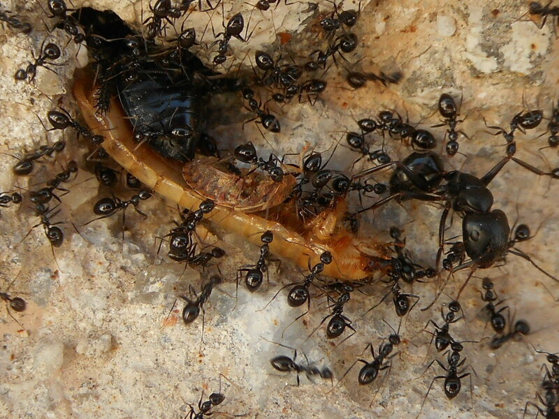 Some of these ants are working together. Others may just be watching.