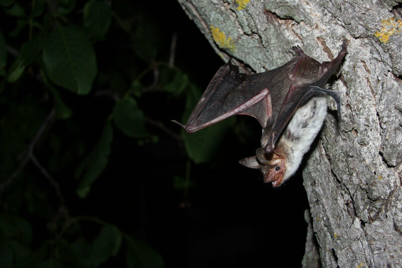 A greater mouse-eared bat, about to take off.