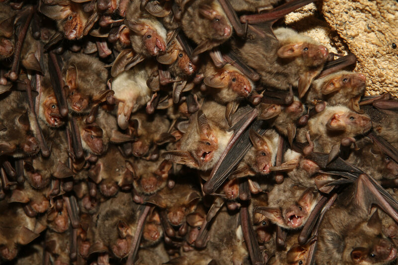 A colony of mouse-eared bats.
