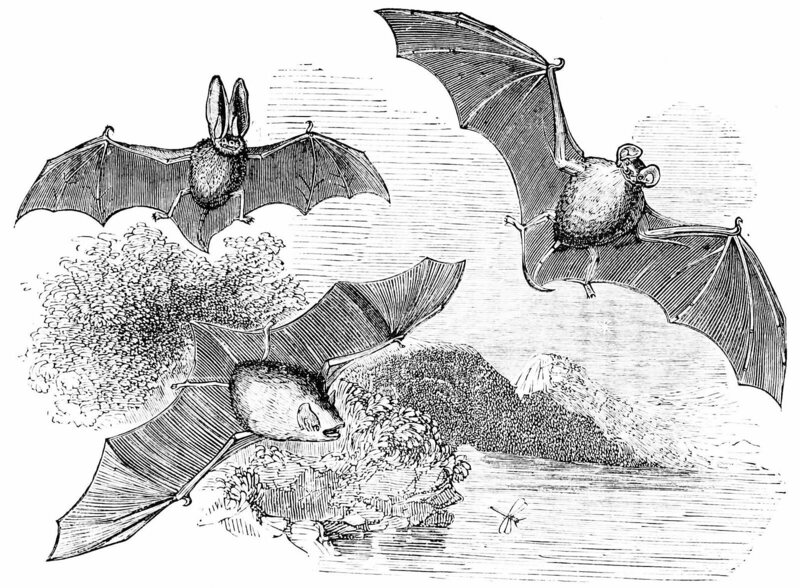 Bats chasing insects, drawn in 1876—long before we knew how they did it.