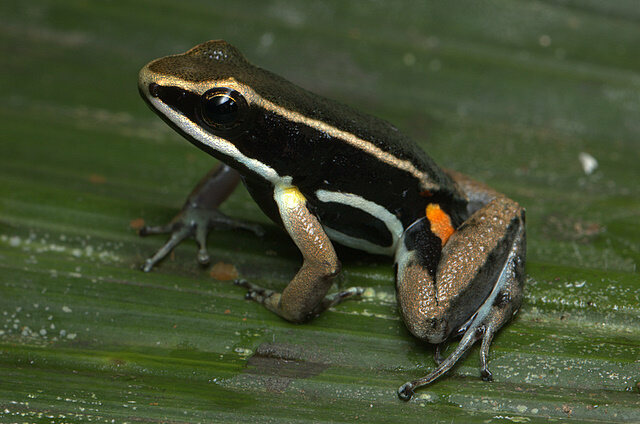 A brilliant-thighed poison frog.