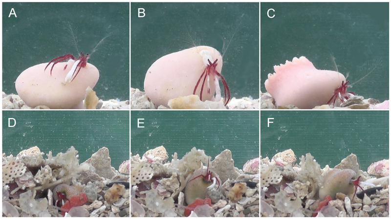 The coral-dwelling hermit crab rights itself when flipped (A-C) and pulls itself out when buried (D-F).