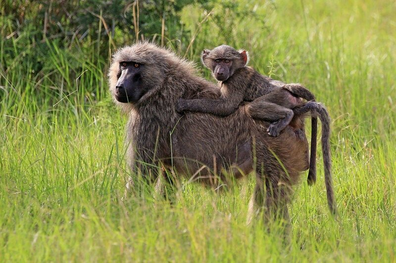 A female olive baboon carrying a juvenile. In baboon society, all members help make decisions, even decidedly non-alpha duos like this.