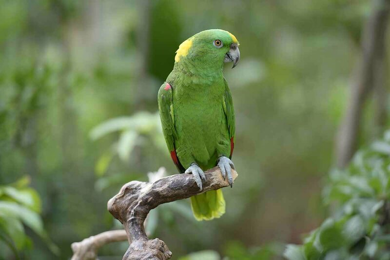 A yellow naped amazon parrot.
