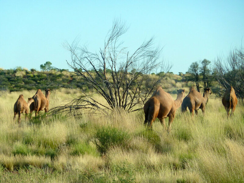 A caravan of wild camels in the outback.