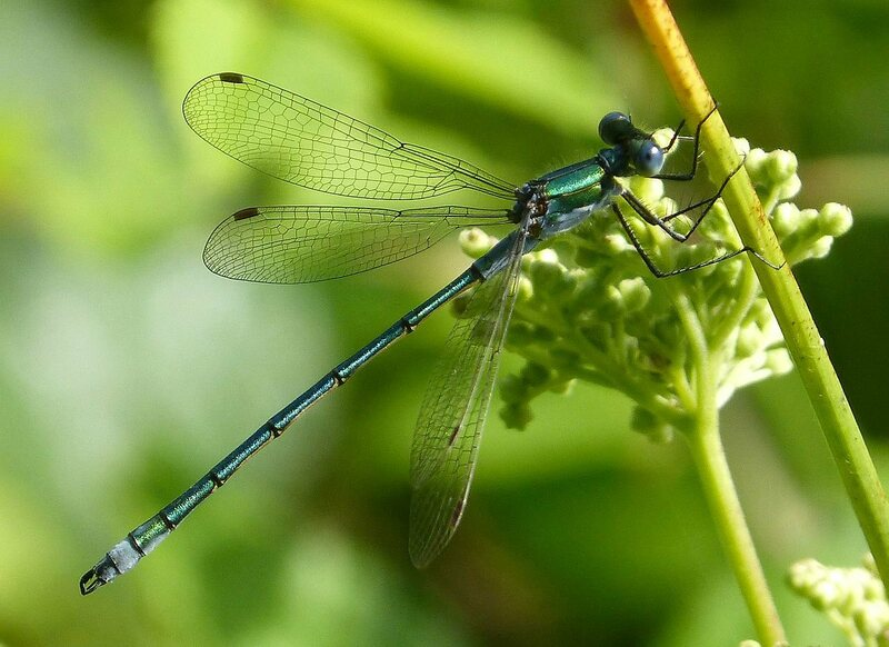 The common spreadwing, one of the dragonflies included in the study.