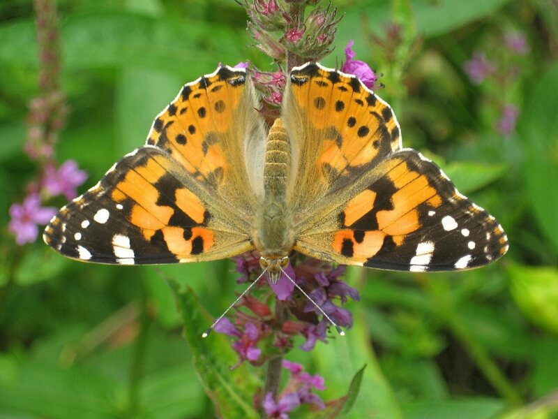 A solo painted lady.