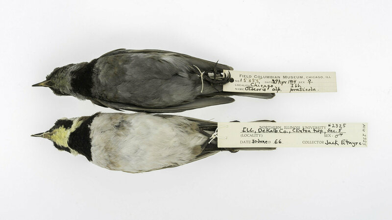 Specimens from 1904 and 1966 look almost like different species of songbird.