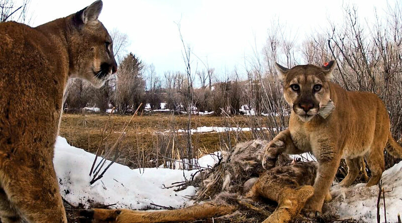 Two cougars dine on a carcass in Wyoming.