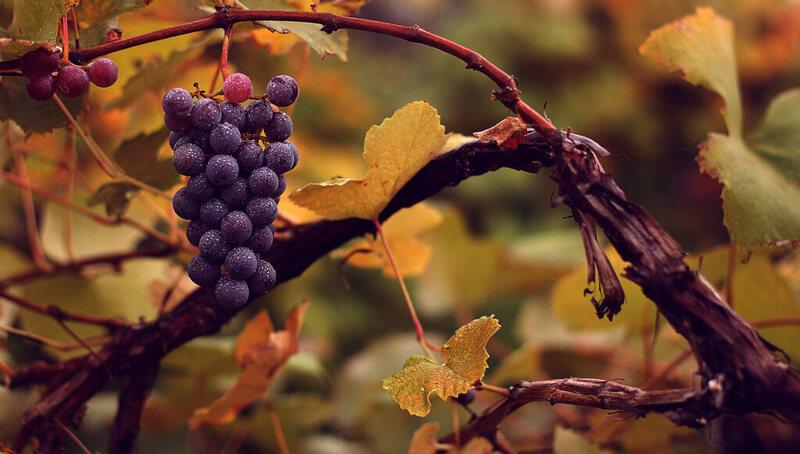 <em>Vitis vinifera vinifera</em>, the domesticated grape. A good idea is a good idea.