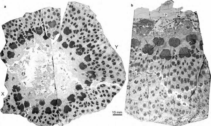 A cross-section of an ancient tree fossil shows a much more complicated structure than the rings we know today.