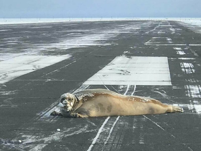 A bearded seal, sprawled on the runway of the Wiley Post–Will Rogers Memorial Airport.