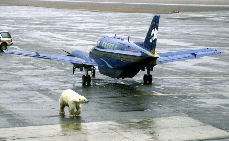 A polar bear at the same airport in 2003.