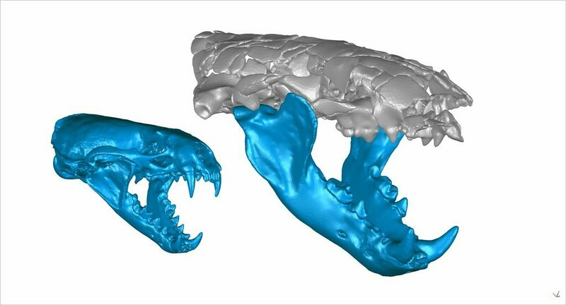 Digital, 3-D reconstructions of a modern common otter (left) and a prehisto ... oh, wow, those teeth are big.
