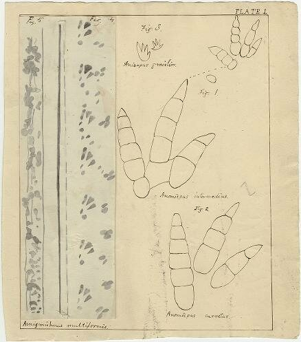 Hitchcock's drawings of the fossil footprints of several species, 1863.