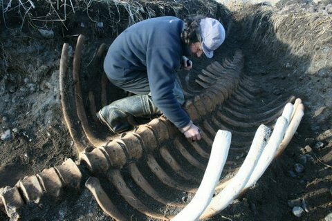 Scientists at Commander Islands Nature and Biosphere Reserve unearth the skeleton of a Steller's sea cow.