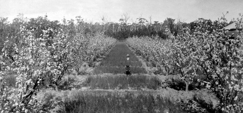 Rows and rows of seedling apple trees in Old Thulimbah, Stanthorpe, Australia, in 1924.