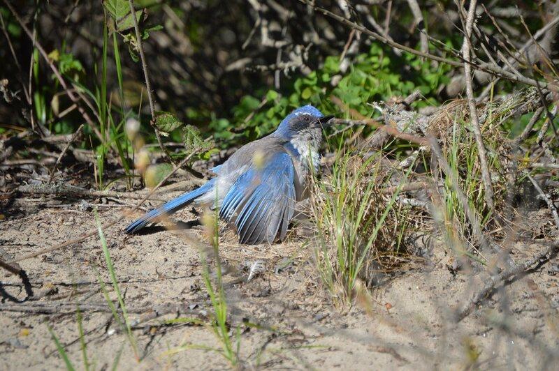 Blue jays, among other birds, like to rub themselves with ants.