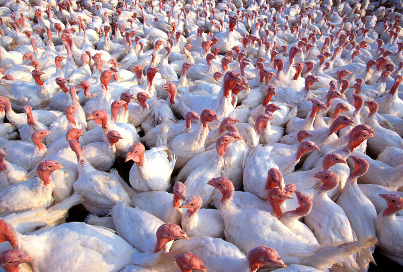 White turkeys have become the commercial norm, though the speed at which they grow means their prodigious meat is pretty tasteless.