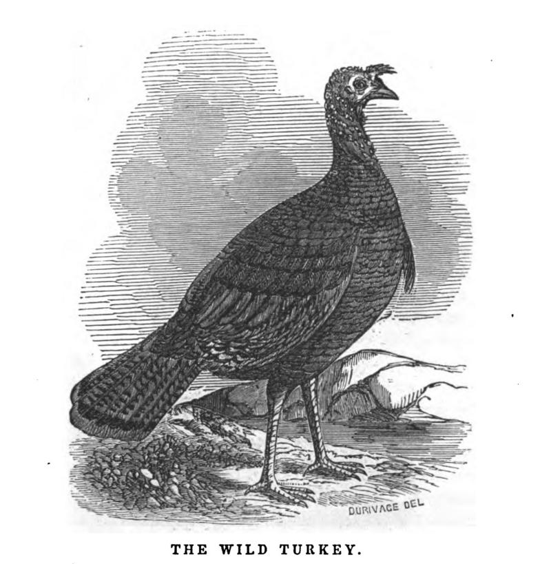 An engraving of a wild turkey from Bennett's 1850 book.
