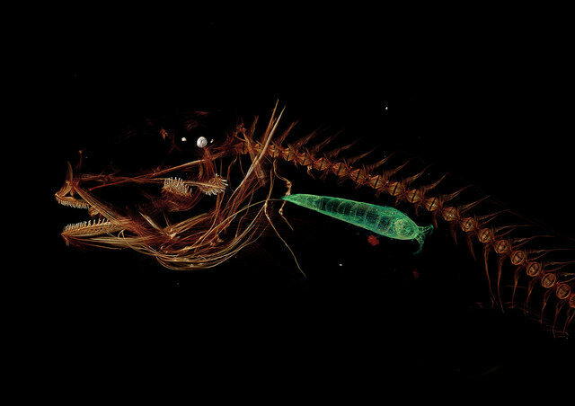 A CT scan of a Mariana snailfish, featuring its dinner, a small crustacean.
