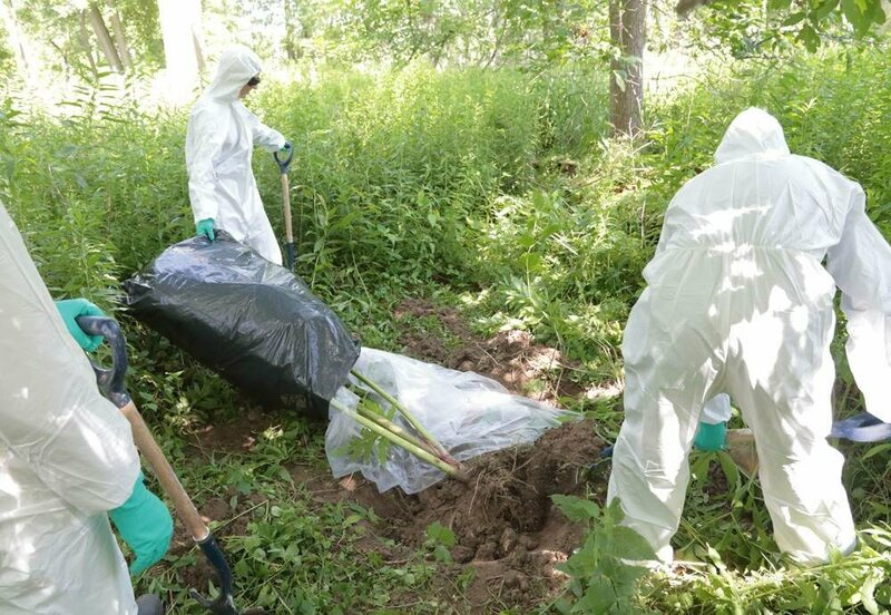 Three RBG employees in full safety gear dig a giant hogweed out of the ground.