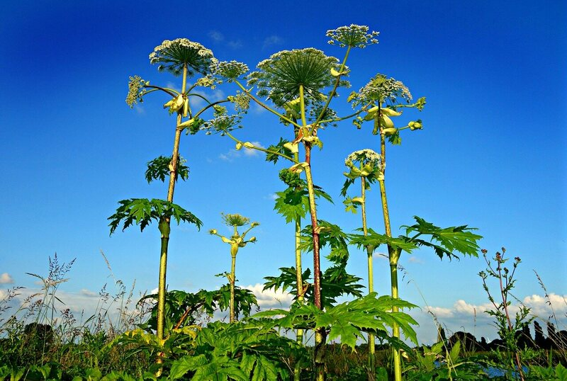 Giant hogweed, towering over other plants.