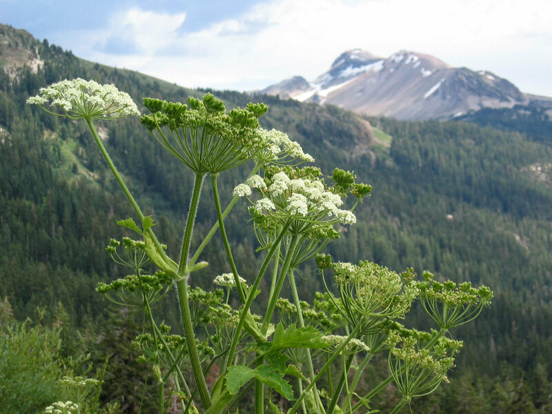 Cow parsnip is shorter, fuzzier, and slightly less mean than giant hogweed.