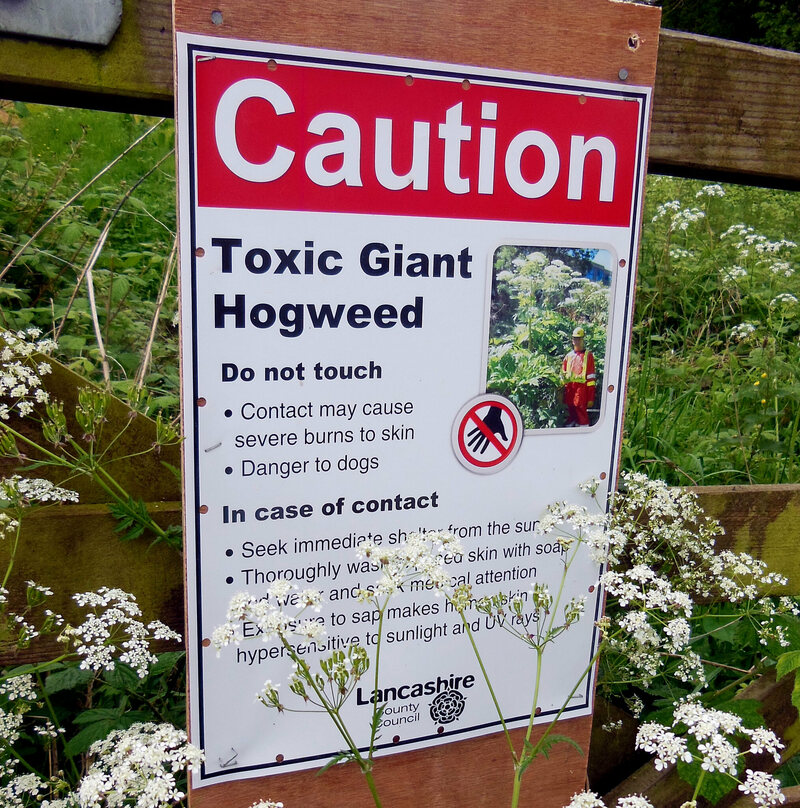 A giant hogweed warning sign in Lancashire County, England.