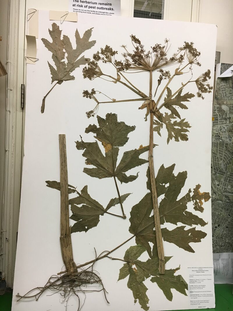 The RBG herbarium's giant hogweed, mounted.