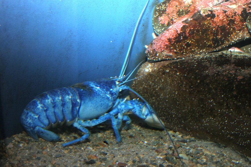 Lobster Found With 'Pepsi Tattoo' Sparks Debate on Marine Pollution