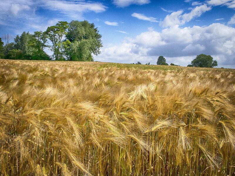 Barley's good for more than malt.