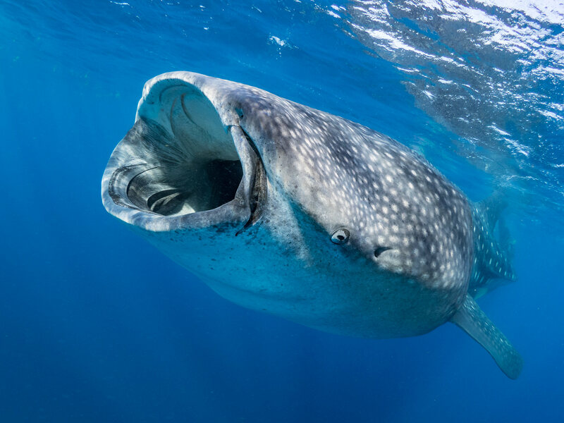 A whale shark opens wide.