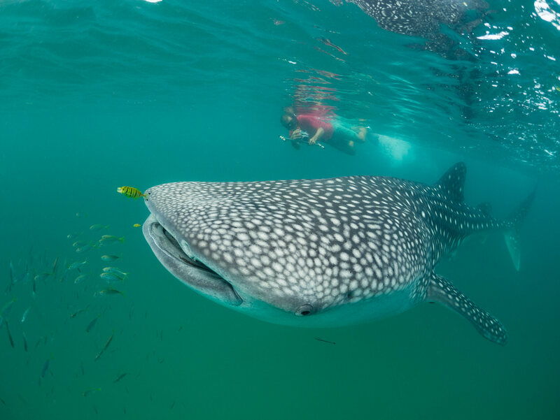 A Wildbook contributor photographs the left side of a whale shark.
