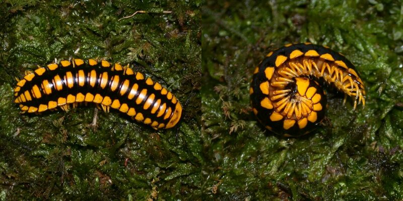 Two views of colorful but lethal: <em>Apheloria polychroma</em>.