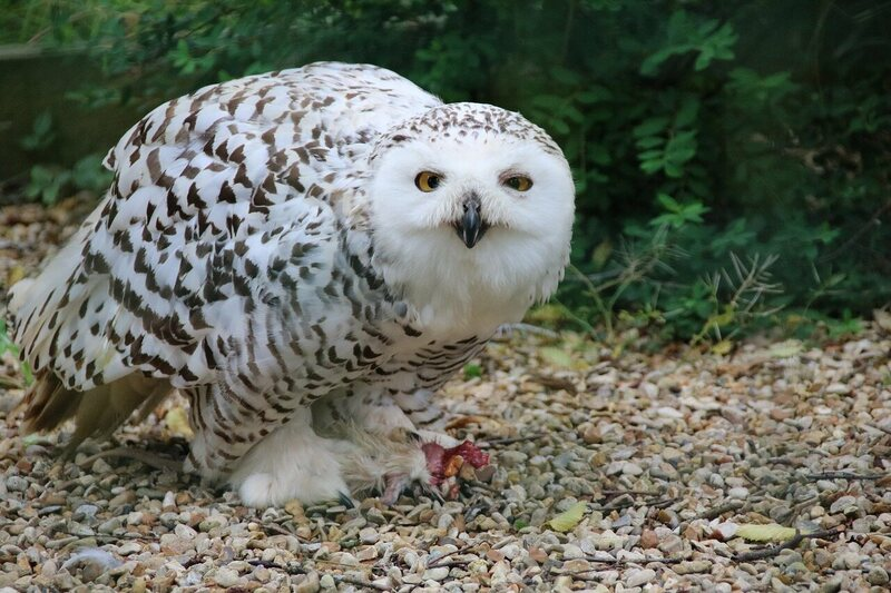 The Snowy Owls Are Back In Town Atlas Obscura